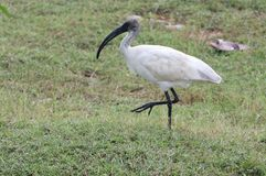 Black headed white ibis Stock Image