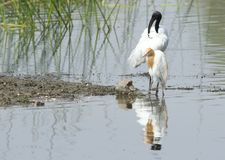 Black headed white ibis standing with his friend pond heron Stock Images