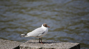 Black-headed white seagul Royalty Free Stock Images