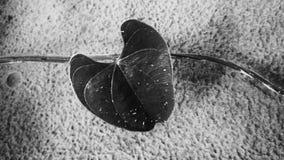 Black heart. A black leaf heart Stock Images