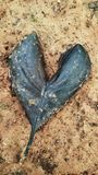 Black Heart Leaf. Broken Black Heart Leaf on the ground Stock Photos
