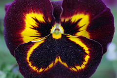 Black heartsease, macro Royalty Free Stock Images