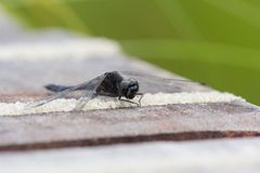 Black heath dragonfly sunning on a deck Royalty Free Stock Photography