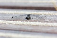 Black heath dragonfly warms up on deck Stock Photo