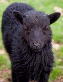 Black Hebridean lamb Stock Images