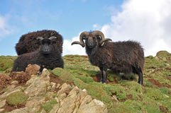 Black Hebridean Ram and ewes Royalty Free Stock Photos