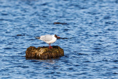 Black Heheaded Gull Stock Photo