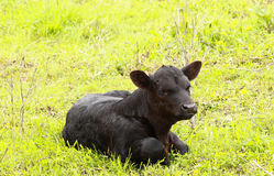 Black Heifer Calf. A black angus calf alone in the pasture stock images
