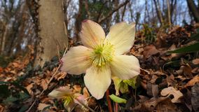Black hellebore or Christmas rose is an evergreen perennial flowering plant Stock Photos