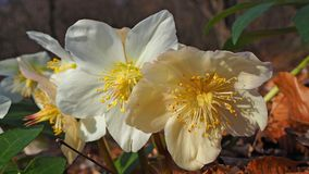 Black hellebore or Christmas rose is an evergreen perennial flowering plant Stock Photography