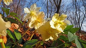 Black hellebore or Christmas rose is an evergreen perennial flowering plant Royalty Free Stock Photo