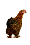 Black hen Royalty Free Stock Photos