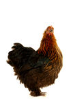 Black hen Royalty Free Stock Photography
