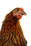 Black hen Stock Image