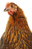 Black hen Stock Photos