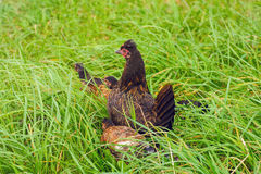 Black Hen Royalty Free Stock Images