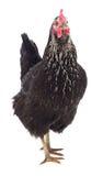 Black hen isolated. Stock Photo