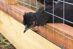 Black Hen stuck her head through the cage Royalty Free Stock Photos