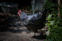 Black hen. Stock Images