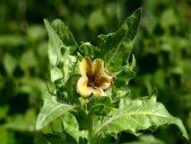 Black henbane. A blossom of the poisonous plant black henbane Stock Photo