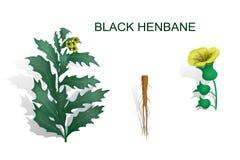 BLACK HENBANE Stock Photography