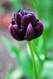 Black Hero tulip Royalty Free Stock Photo