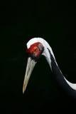 Black heron. A rare black heron half face on a dark background Stock Photo