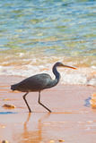 Black heron Royalty Free Stock Images