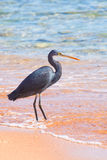 Black heron Stock Photos