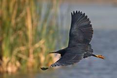 Black Heron. In flight over Marivale river system Stock Image