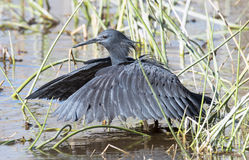 Black Heron Royalty Free Stock Images