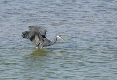 A black heron concentrating on moving fish Royalty Free Stock Photos