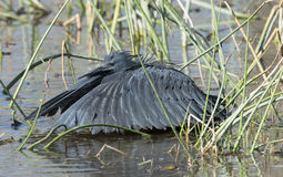 Black Heron Fishing. Stock Images