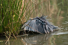 Black heron fishing Stock Image