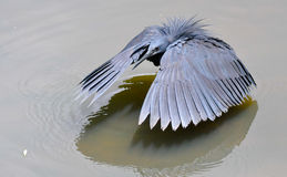 Black Heron fishing in South Africa Stock Photos