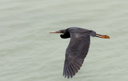 A black heron gliding Royalty Free Stock Images