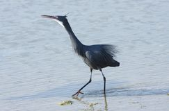 A black heron moving on water Stock Photography