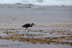Black Heron at the sea hunts at low tide. The black Heron on the sea or ocean to hunt during low tide, into the waves Royalty Free Stock Photo