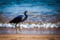Black heron. At the seashore Stock Photography