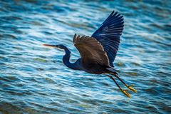 Black heron. At the seashore Royalty Free Stock Photography