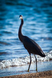 Black heron. At the seashore Stock Images