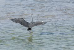A black heron spreading its wings Royalty Free Stock Image