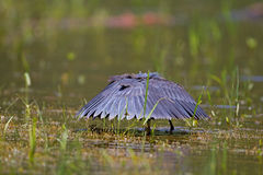 Black heron wading in shallow water Stock Photo