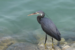 A black heron watching the movement of the fish Stock Photography