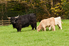 Black highland cow with grazing twin calves Royalty Free Stock Images