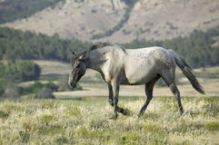 Black Hills Wild Horse Sanctuary, Royalty Free Stock Photos