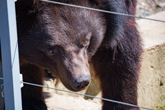 Black Himalayan bear closeup day Royalty Free Stock Photo