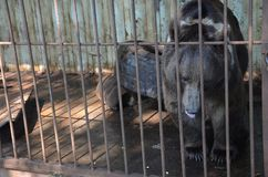 Black Himalayan bear with white collar sits in a cage with his tongue out. Black Himalayan bear with white collar sits in a cage with his tongue out in the stock photo