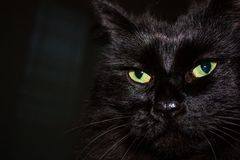 Black Himalayan cat face close up royalty free stock images