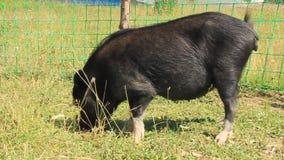 Black hog stock video